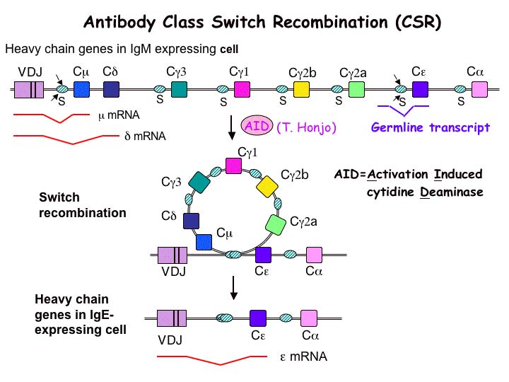 Diagram of Class Switch Recombination (CSR)
